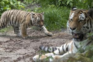 V anglickej zoo zabil tiger opatrovateľku