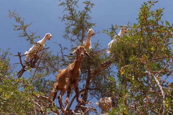 Kozy na arganovníku.