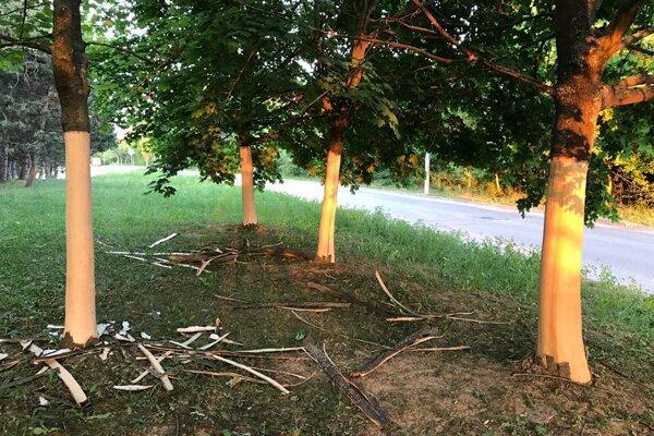 Stromy zostali bez kôry.
