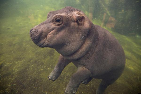 Hrošík Fiona v zoo v Cincinnati.