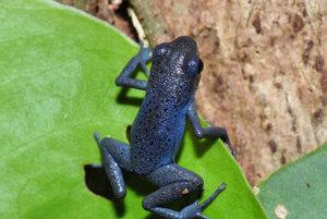 Na ostrove Cristobal majú pralesničky farbu čučoriedok.