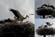 Prvé pokusy malých bocianov o opustenie hniezda