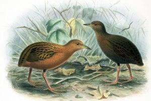 Ďalší havajský vták Porzana sandwichensis vyhynul v roku 1890. vyhynutie spôsobili potkany, mačky a zrejme aj psy.