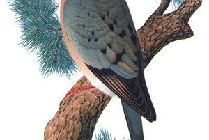 vyhynutý holub sťahovavý vymrel v roku 1914. Bol lovený pre mäso aj zábavu.