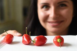 Na snímke silno pálivá paprika čínska - Capsicum chinense.