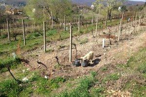 Prasa vo vinohrade pomáhalo ryť pôdu.