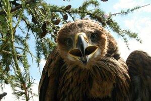 Jedno zo šiestich mláďat orla kráľovského, na ktoré umiestnili slovenskí ornitológovia vysielačku.