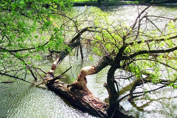 Stromy z Veľkej Hangócky, ktoré poškodili bobry, zatiaľ nevybrali.