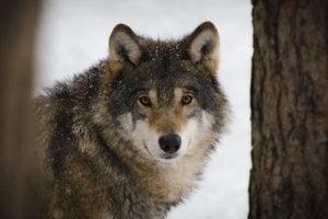 Vlk je v prítomnosti ľudí plachý.