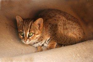 Mačka cejlónska je spolu s mačkou čiernonohou najmenšia mačkovitá šelma na svete,