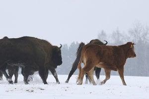 Kravu v stáde zubrov je najčastejšie vidieť pri dedine Wasilkowo. So zubrami je už tretí mesiac.