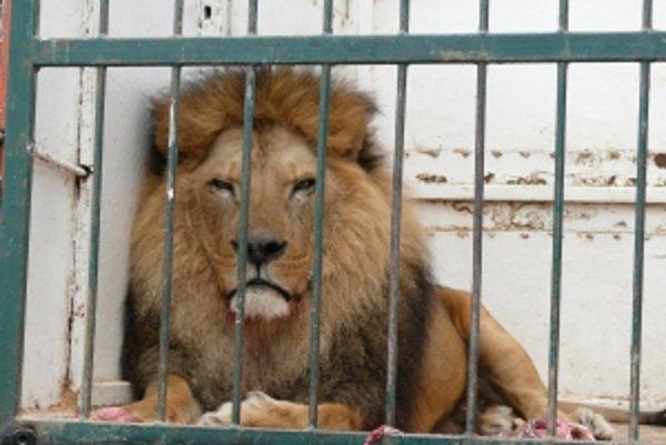 Lev s menom Lord vyzerá pokojne. Práve sa dobre nažral.