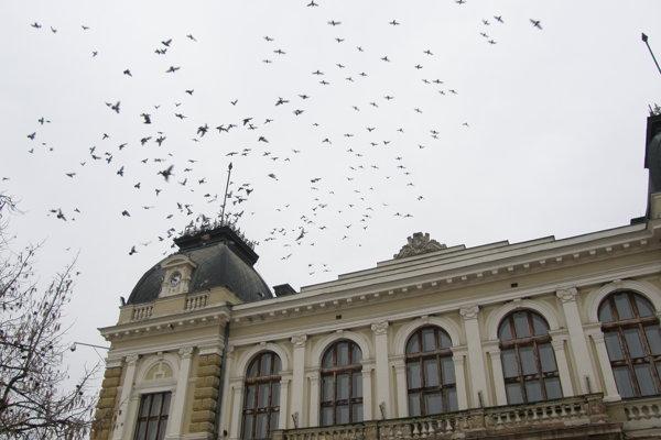 Holuby s obľubou sedávajú aj na historickej radnici.