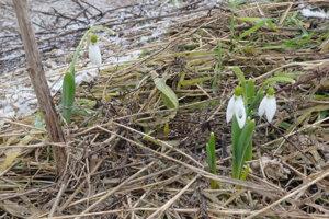 Snežienky zakvitli v areáli zvolenskej firmy blízko rieky Slatina.