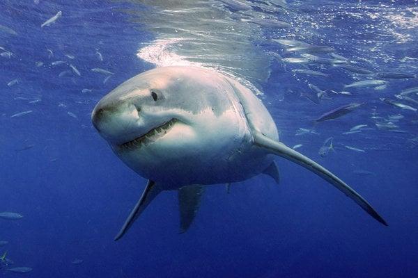 Žralok biely.