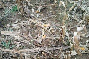Takéto pohľady do zničených lánov nie sú pre poľnohospodárov zo Žemberoviec ničím výnimočným.