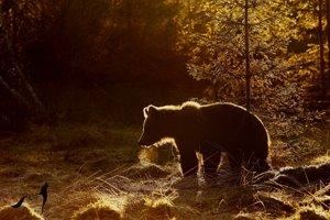 Medvede Tomáša Kučeru fascinujú.
