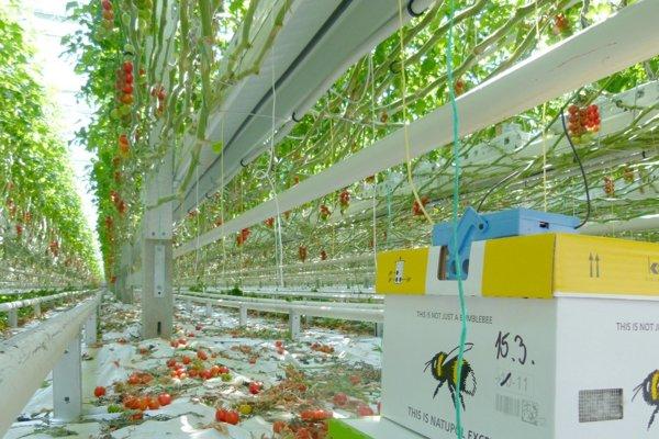 V každom skleníku je 80 úľov a v nich kráľovná a 120 čmeliakov, resp. čmeliačok.