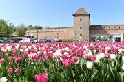 Rozkvitnuté tulipány krášlia v týchto dňoch Trnavu.