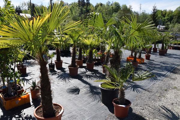 Mrazuvdorným palmám sa darí aj vnašich podmienkach.