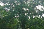 Ekohry pri chránemom dube