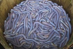 Morské špirálovce nazývane sipunkuly majú fialovú krvomiazgu.