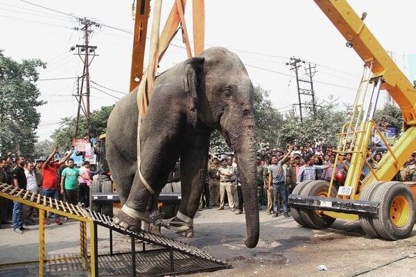 Slona museli dostať z mesta žeriavom.