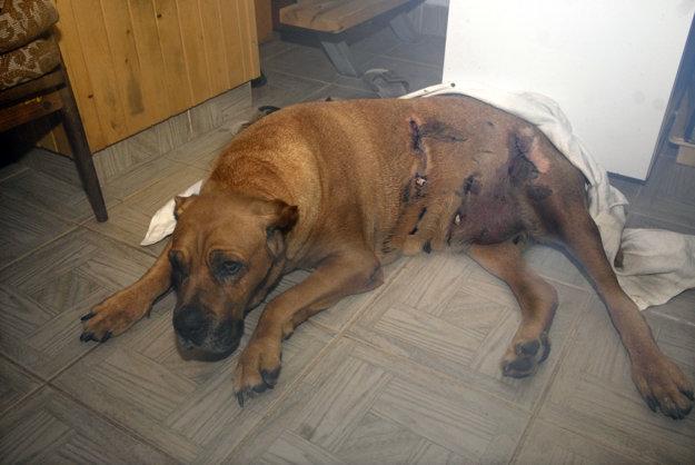 Takto dopadol pes po útoku diviaka na Aničke.