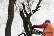 Staré, nebezpečné alebo oboje - najčastejšia príčina, pre ktorú majitelia pozemkov žiadajú o výrub stromov.