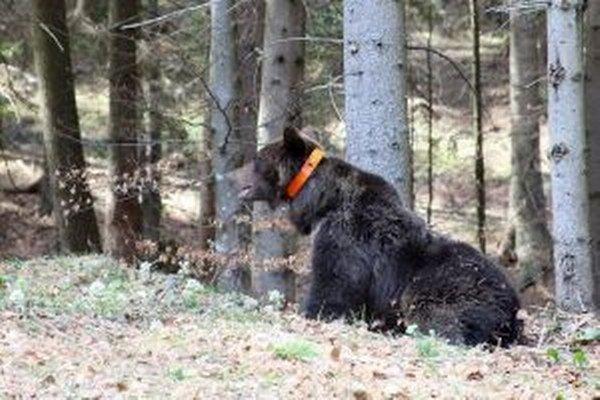 Druhý medveď, ktorému hornooravskí ochranári nasadili telemetrický obojok, dostal meno Jaro.