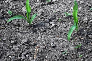 Poľnohospodári upozorňujú na mimoriadny nedostatok vlahy.