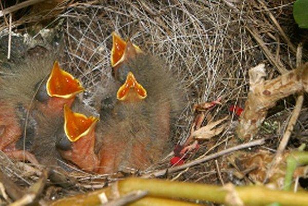 Vtáčatá sa vyliahli medzi okrasnými muškátmi.