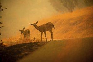 Srnky sa pasú v blízkosti rozsiahleho lesného požiaru neďaleko kalifornského mesta Redding 28. júla 2018.