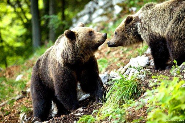 Medveďov je viac ako vdeväťdesiatych rokoch, no nedá sa vraj podľa ochranárov povedať, že sú premnožené.