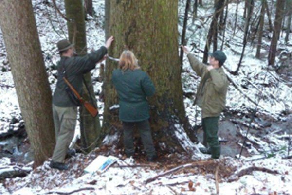 Komisia pri meraní rekordov lesa.