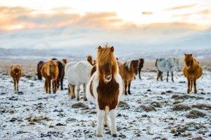 Typické kone, ktoré pri cestovaní Islandom určite uvidíte