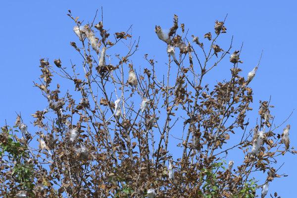 Na snímke hniezdá húseníc motýľov priadzovca na hruške.