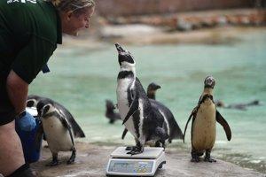 Ošetrovateľka váži a meria tučniaka.
