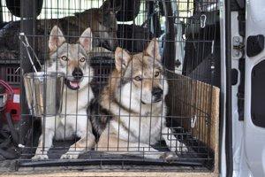 Šampión Jassper (vpravo) ajeho dcéra Maya patrili medzi najkrajšie psy výstavy.