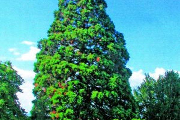 Sekvoja rastie v lokalite Horňany.