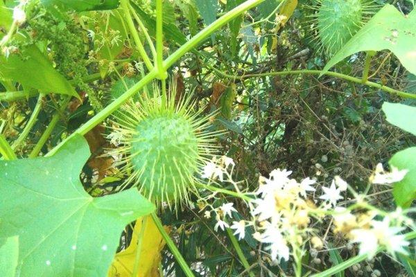 Plody ježatca pripomínajú buď gaštany alebo malého ježka.