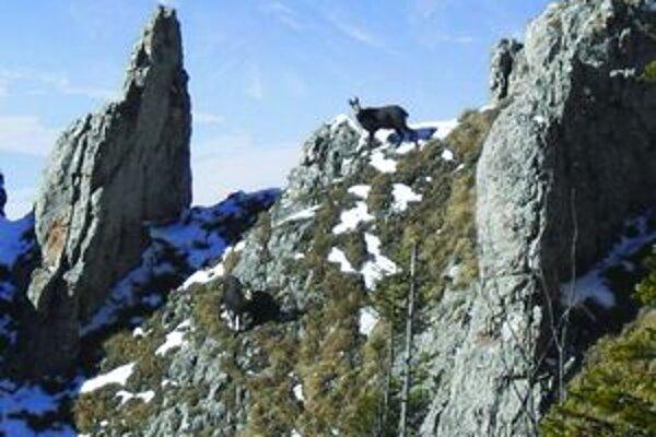 Kamzíky sa nerušene pásli na vrchole Tlstej.