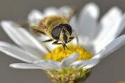 Včela sedí na kvete sedmokrásky.