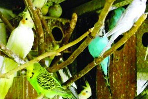 Petrovi miláčikovia. V pivnici pätnásť rokov choval dvadsať malých papagájov. Povolil mu to aj vlastník bytovky.