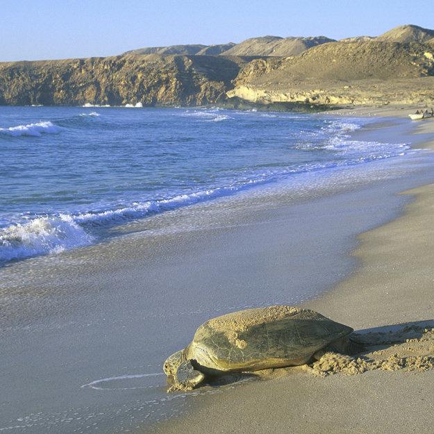 Korytnačky pravidelne prichádzajú na pláže Ománu klásť vajíčka.