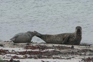 Keď sa tulene snažia chrániť mláďatá, môžu byť agresívne.