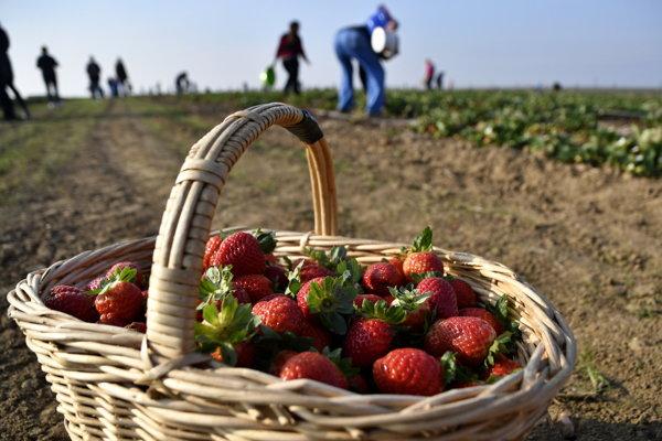 Teplé počasie aminimum zrážok spôsobili, že jahody dokázali ešte v polovici novembra sčervenať, dozrieť anezhnili.