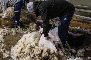 Strihanie oviec v Kremnických Baniach.