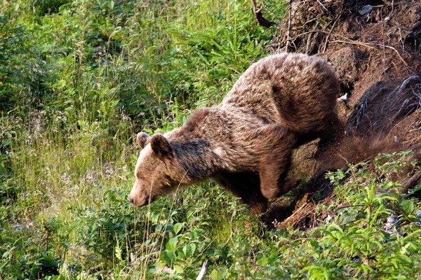 Pri dohľadávaní jeleňa sa poľovníci stretli zoči-voči s medveďom.