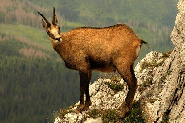 Kamzíky videli aj v doline Voliarisko na oravskej strane Západných Tatier.